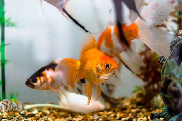 aquarium, goldfish